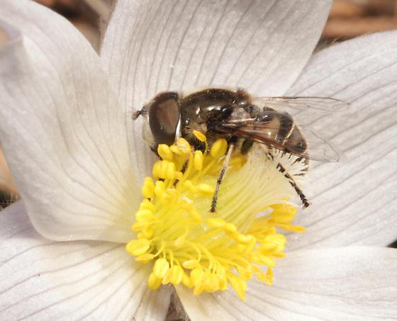 Syrphidae, lateral - Eristalis dimidiata - male