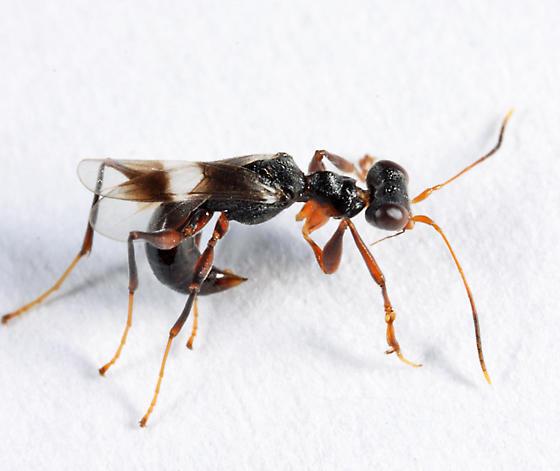odd wasp - Dryinus crawfordi