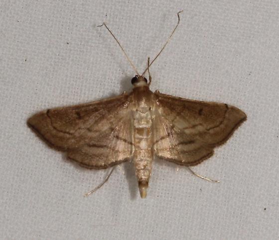 crambid - Cnaphalocrocis trapezalis