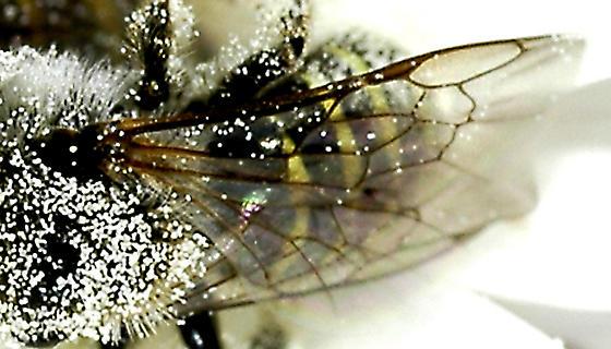Panurginae? - Calliopsis puellae - male - female