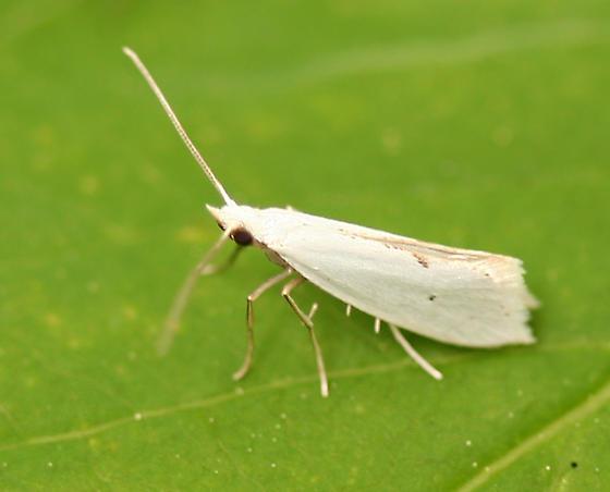 small white moth - Eucalantica polita