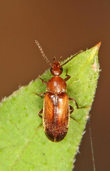 small Beetle - Allopoda lutea