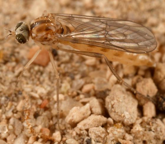 wormlion - Vermileo opacus - female