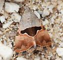 Small grey-brown moth. - Cobubatha lixiva