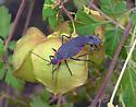 Red-shouldered Bug (Jadera) cop pr. - Jadera haematoloma - male - female