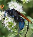 Blue & Orange flying insect - Pepsis mildei - female