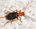 Bombardier Beetle - Brachinus fulminatus
