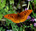 Orange and black butterfly - Speyeria cybele - male
