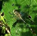 Which Clubtail ? - Dromogomphus spoliatus