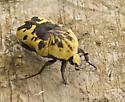 Harlequin Flower Beetle - Gymnetis caseyi