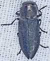 Beetle, dorsal - Melanophila atropurpurea