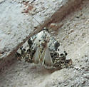Moth - Tarache aprica