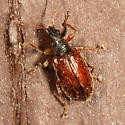 Beetle - Phyllobius oblongus