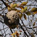 Hive - Dolichovespula