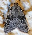 Meganola - male