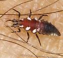 Chrysopidae IMG_4853