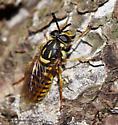 Syrphid Fly - Sphecomyia vittata