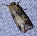 unknown moth - Spodoptera latifascia