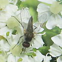 Fly on cow-parsnip - Geron