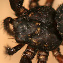Black Crab Spider - Coriarachne brunneipes