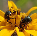 Chrysomelidae sp ? - Haplorhynchites eximius