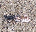 Tiger Beetle ID - Cicindela hirticollis