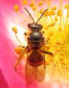 Sweat Bee - Lasioglossum - female