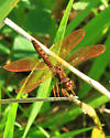 Red Dragonfly - Perithemis tenera - male