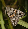 Northern Arches - Drasteria hudsonica
