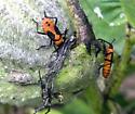 Oncopeltus fasciatus - Large Milkweed Bug - nymphs - Oncopeltus fasciatus
