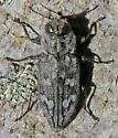 Chrysobothris femorata? - Chrysobothris