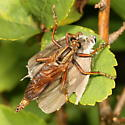 Which Robber fly please? - Asilus sericeus