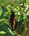 Tarantula Hawks - Pepsis mildei - male - female