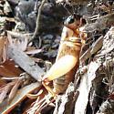 cricket - Gryllus - female