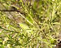 Scudderi bush katydid - Scudderia mexicana - female