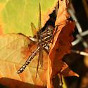 Large Dragonfly - Aeshna umbrosa