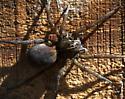 spider - Tigrosa helluo - female