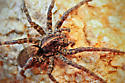 Tiger Wolf Spider (Hogna aspersa)? - Tigrosa georgicola - female