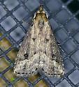 Texas SE Gulf Coast - Schrankia macula