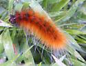 Orange caterpillar - Spilosoma virginica