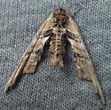 Marathyssa basalis? - Marathyssa basalis - male