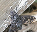 Hover fly? - Xenox tigrinus