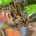 Mating Spiders - Agelenopsis - male - female