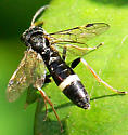 Sawfly ID please…. Allantus mellipes perhaps?? - Allantus cinctus - female
