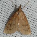 Moth 09.07.26 (3) - Udea rubigalis