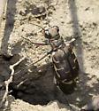 Appalachian Tiger Beetle? - Cicindela repanda