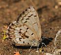 Idaho Blue - Celastrina