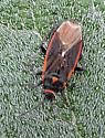 Bug - Melacoryphus lateralis