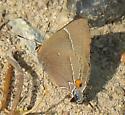 butterfly - Parrhasius m-album