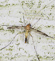Crane Fly  - Macrocera - male